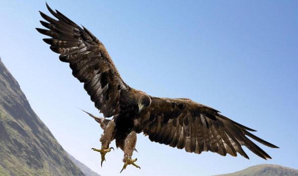 greathawk.jpg